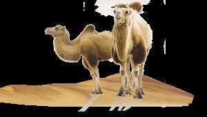 camel-300x170